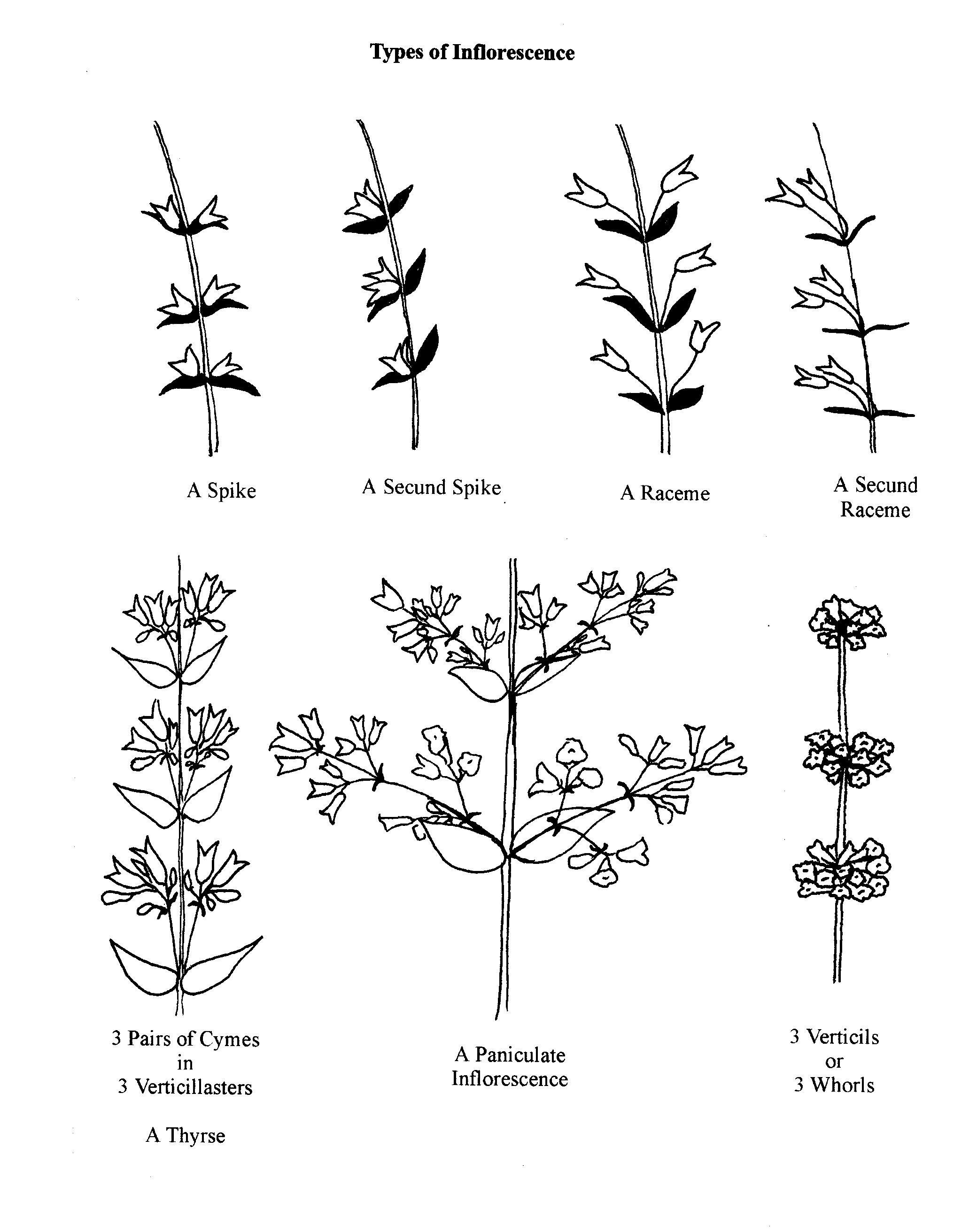 various inflorescense types.
