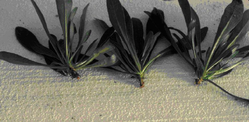 cuttings of Penstemon barbatus